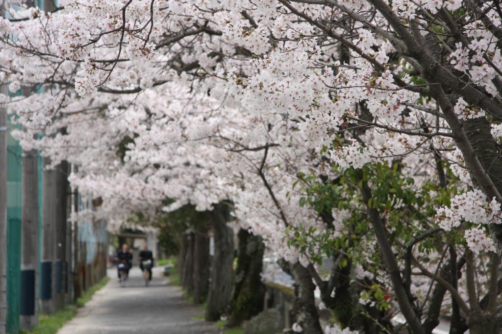 春・桜並木